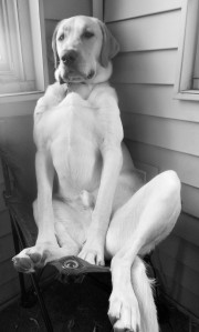 Jake, Jean Rabe's handsome yellow lab, mugs for the camera in black and white